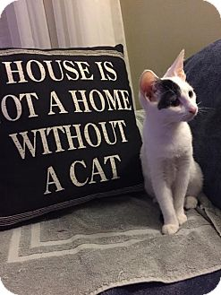 Domestic Shorthair Kitten for adoption in Fishers, Indiana - Italy