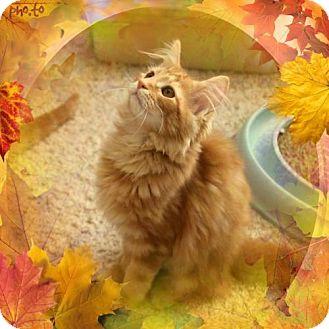 Domestic Shorthair Cat for adoption in Cincinnati, Ohio - Simona