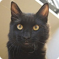 Domestic Longhair Cat for adoption in Denver, Colorado - Rufus