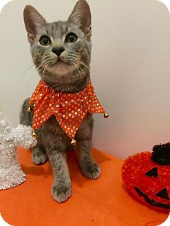Domestic Shorthair Cat for adoption in Burlington, North Carolina - JUSTICE