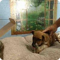 Adopt A Pet :: URGENT ON 11/26 San Bernardino - San Bernardino, CA