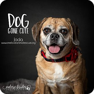 Pug/Beagle Mix Dog for adoption in Mount Laurel, New Jersey - Jada