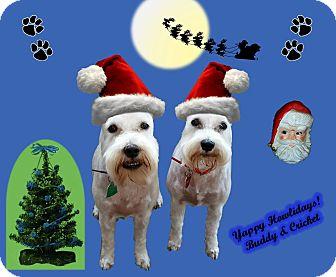 Miniature Schnauzer Dog for adoption in Southeastern, Kansas - Cricket & Buddy-NEW PICS!!
