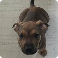 Adopt A Pet :: Azlan - Denver, CO