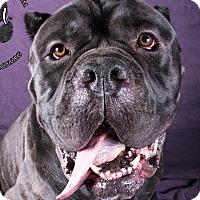 Adopt A Pet :: Lambchop - Cincinnati, OH