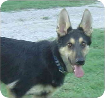 German Shepherd Dog Dog for adoption in Pike Road, Alabama - Dag