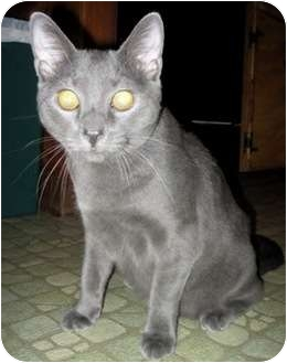 Russian Blue Kitten for adoption in Quincy, Massachusetts - Barley