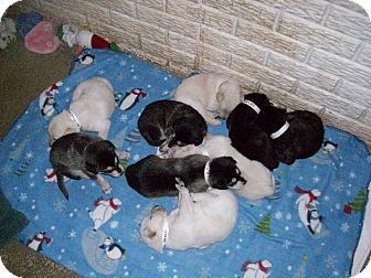 Alaskan Malamute/Labrador Retriever Mix Puppy for adoption in Augusta County, Virginia - Puppies!
