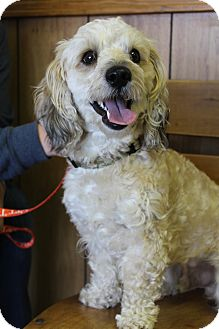 Poodle (Miniature)/Dachshund Mix Dog for adoption in Bedminster, New Jersey - Cash