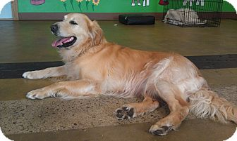 Golden Retriever Dog for adoption in New Windsor, New York - Riley