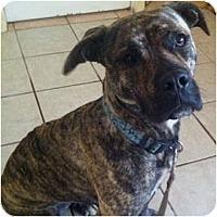 Adopt A Pet :: Brindy - Encino, CA