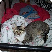 Adopt A Pet :: Little Miss Muffin - Tempe, AZ