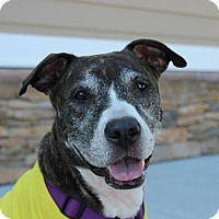Adopt A Pet :: Storm the perfect girl! - Shrewsbury, NJ