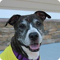 Adopt A Pet :: Storm the perfect girl! - Shrewsbury, NJ