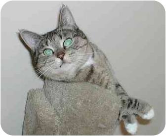 Domestic Shorthair Cat for adoption in Toronto, Ontario - Brandi
