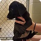 Adopt A Pet :: Ciara