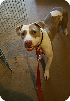 Pit Bull Terrier/American Pit Bull Terrier Mix Dog for adoption in Lodi, California - Cinderella
