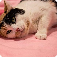 Domestic Shorthair Cat for adoption in Port Clinton, Ohio - Phoebe