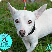 Chihuahua Mix Dog for adoption in Bradenton, Florida - Al
