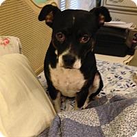 Feist Dog for adoption in Roslyn, New York - Missy