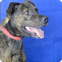 Pit Bull Terrier Mix Dog for adoption in Jackson, New Jersey - DeSoda