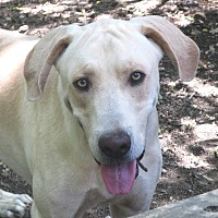 Great Dane/Labrador Retriever Mix Dog for adoption in Godley, Texas - Clyde