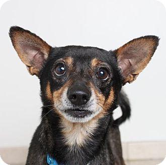 Miniature Pinscher Mix Dog for adoption in Edina, Minnesota - Bullet D161368