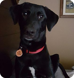 Labrador Retriever Mix Puppy for adoption in Austin, Texas - Dixon
