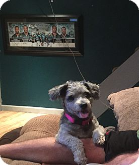 Miniature Poodle/Miniature Schnauzer Mix Dog for adoption in Essington, Pennsylvania - Scrappy