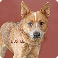Australian Cattle Dog Mix Dog for adoption in Idaho Falls, Idaho - Dustee