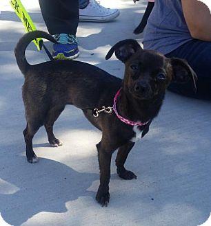 Chihuahua Mix Dog for adoption in Dallas, Texas - Chi Chi