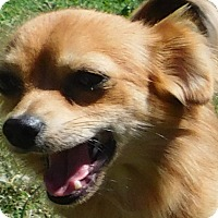 Chihuahua Dog for adoption in MINNEAPOLIS, Kansas - Fred