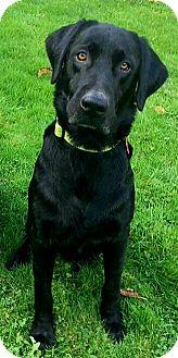 "Labrador Retriever Mix Dog for adoption in Seattle, Washington - ""Decoy"""