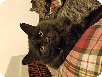 Domestic Longhair Cat for adoption in Fayetteville, Tennessee - Winchester