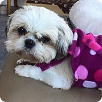 Shih Tzu Dog for adoption in Honeoye Falls, New York - Candy