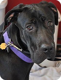 Great Dane/Labrador Retriever Mix Dog for adoption in Silver Spring, Maryland - Evie
