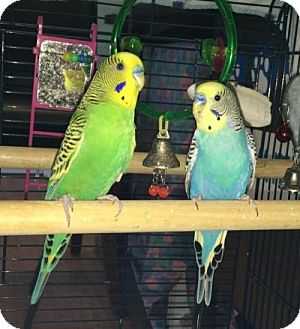 Parakeet - Other for adoption in Methuen, Massachusetts - BATMAN