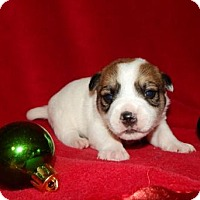 Beagle/Jack Russell Terrier Mix Puppy for adoption in Old Fort, North Carolina - Ellie Puppy #1 Adopt Pending to Byrd