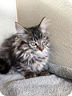 Domestic Longhair Kitten for adoption in North Las Vegas, Nevada - Zyan