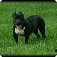 Adopt A Pet :: Tank - Blacklick, OH
