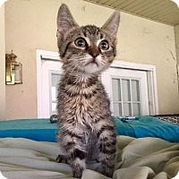 Domestic Mediumhair Kitten for adoption in Hammond, Louisiana - Dime