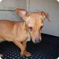 Adopt A Pet :: A420933 - San Antonio, TX