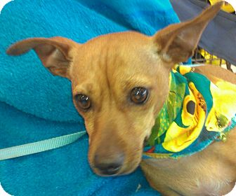 Dachshund/American Hairless Terrier Mix Puppy for adoption in Huntington Beach, California - Seymour