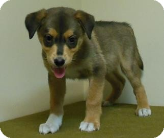 Collie/German Shepherd Dog Mix Puppy for adoption in Gary, Indiana - Scott