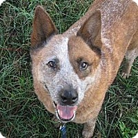 Australian Cattle Dog Dog for adoption in Bradenton, Florida - Pepper