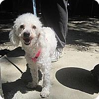 Adopt A Pet :: Bentley - New York, NY