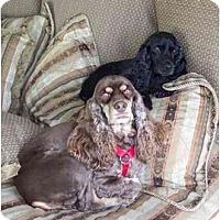 Adopt A Pet :: Ebony - Tacoma, WA