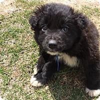 Adopt A Pet :: Gallagher - Pierrefonds, QC