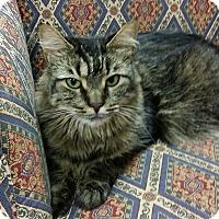 Domestic Mediumhair Cat for adoption in Bonita Springs, Florida - Charlotte