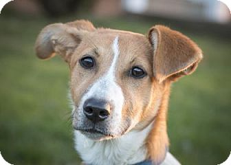 Beagle Mix Puppy for adoption in West Allis, Wisconsin - Lexus